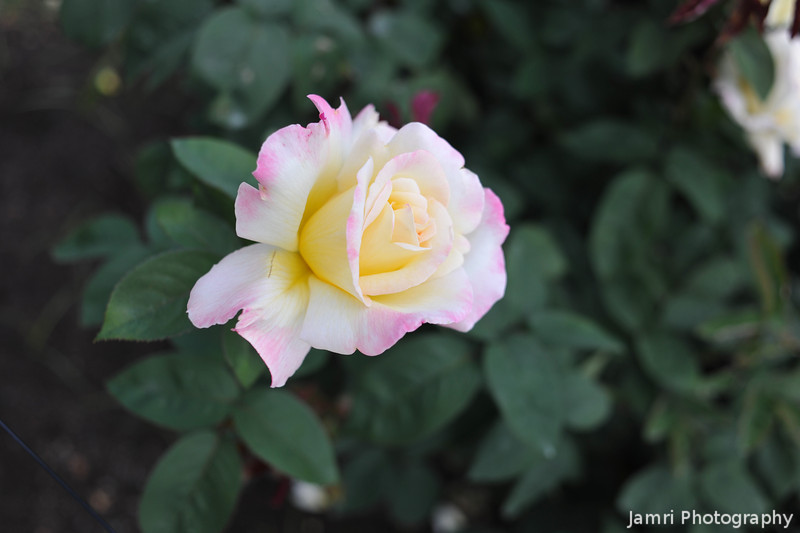 An Apricot and Pink Rose.<br /> Went to the Kyoto Botanical Gardens, it was my first chance since leaving Australia to see a rose bush out in the open!