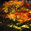 Lit up maple tree.