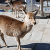 When your in Nara you photo deer!<br /> Dave came back from Tokyo and the very next day we took him out to Nara.