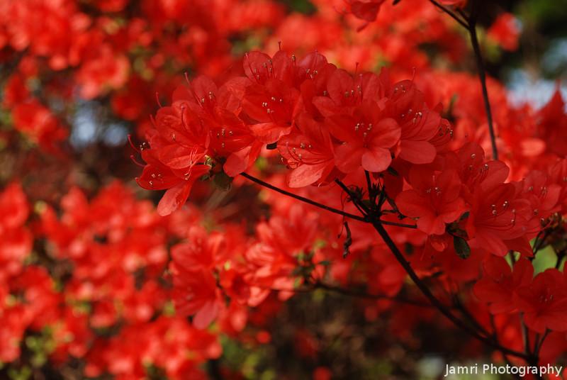 Red Azaleas Up Close.<br /> Some of the famous red azaleas at Nagaoka Tenmangu Shrine Park.