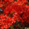 Red Azaleas Up Close.<br /> Some of the famous red azaleas at Nagaoka Tenmangu Shrine Park.