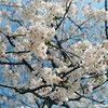 Sakura in the Park.<br /> Note Film Shot: Mamiya RB67 + Mamiya-Sekor 90mm f/3.8 lens + Fujicolor PRO400