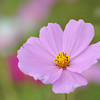 Close Up to a Pink Cosmos.<br /> This was one of the shots I took while showing my sister the Cosmos fields.