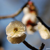 Getting in real close.<br /> Ume (Plum) Blossom.