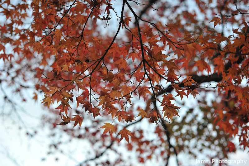 Maples in morning light.<br /> The first post from my visit to Arashiyama on November 27.