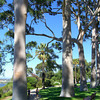 Ghost Gums.<br /> At Kings Park.