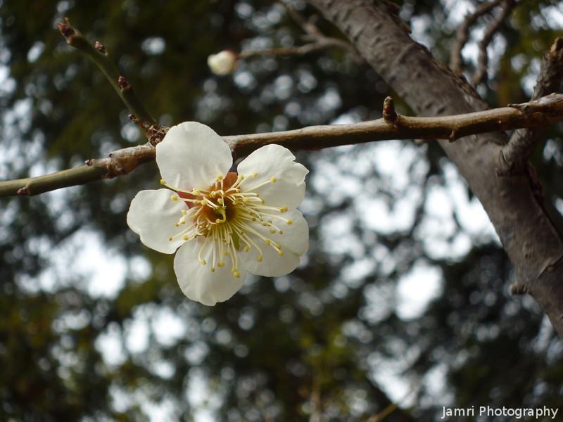 A Single Ume.<br /> Photo by Ritsuko. Taken at the Ume field, near Nagaoka Tenmangu Shrine.