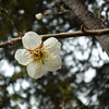 A Single Ume.<br /> Photo by Ritsuko. Taken at the Ume field, near Nagaoka Tenmangu Shrine.