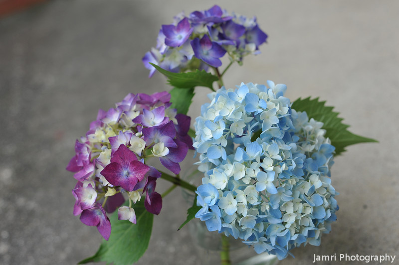 The Colours of Hydrangeas.<br /> Actually it's amazing the many hues of colours their are to be found with Hydrangeas. I remember hearing that it has to do with acidity/alkalinity of the soil, but these have been sharing the same water for a while.