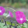 Some morning glories (Asagao).<br /> Tis the season.
