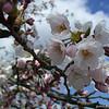 Sakura in Yawata, Kyoto-fu.