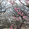 Into the Ume (Plum) Forest.<br /> At Osaka Castle.