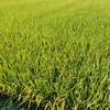 Soothing Field.<br /> As you may have notice that I like photographing rice fields. I find it so soothing on the eyes.
