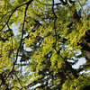 Spring Fresh.<br /> Ah the beauty and happiness of fresh spring leaves after the long cold winter.