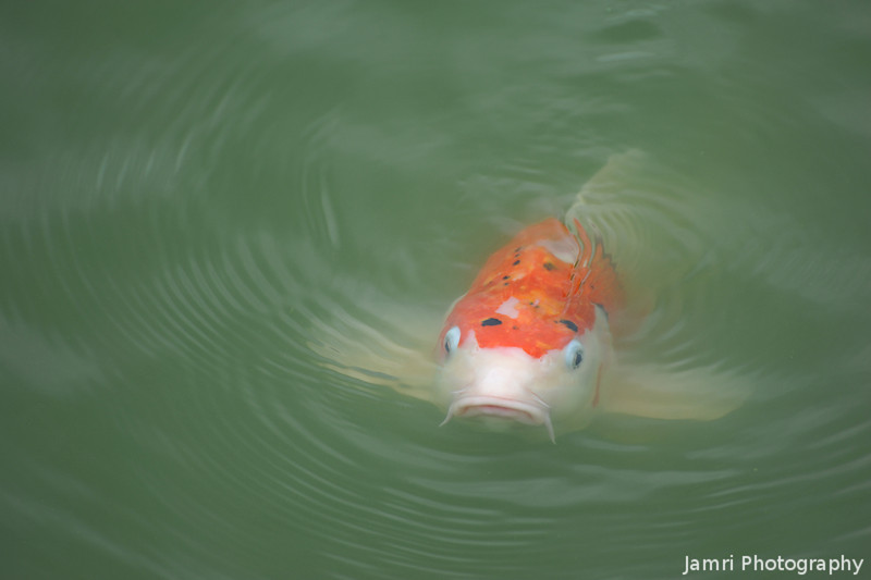 Approaching Koi (Carp).<br /> At Nagaoka Tenmangu Shrine Park, Nagaokakyo, Japan.