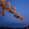 Lit up branch.<br /> Of Sakura at Nagaoka Tenmangu Shrine Park.