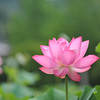 A beautiful bloom.<br /> A Lotus flower at Mimuroto-ji (a Buddhist Temple) near Uji, Kyoto.