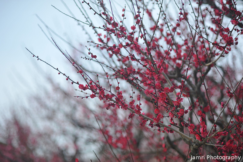 Ume in shallow focus.