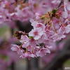 Pink Blossoms.<br /> A Hybrid Sakura which as more darker pink blossoms and flowers about a month early.