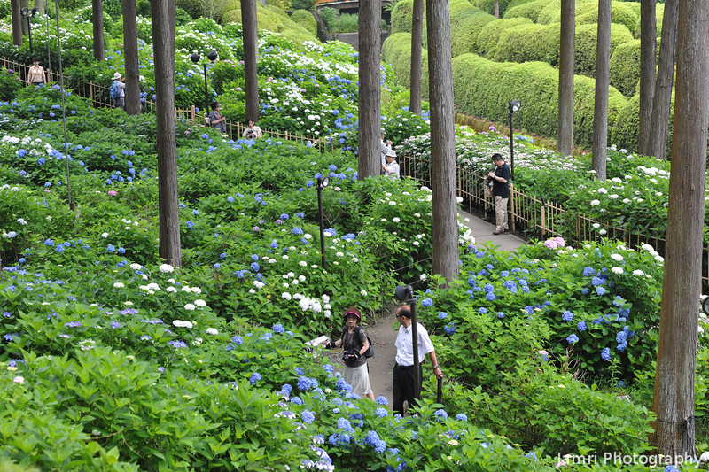 Hydrangeas under the trees.<br /> In the gardens of Mimuroto-ji (a Buddhist Temple) near Uji, Kyoto.