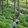Hydrangeas under the trees.<br /> In the gardens of Mimuroto-ji (a Buddhist Temple) near Uji, Kyoto.