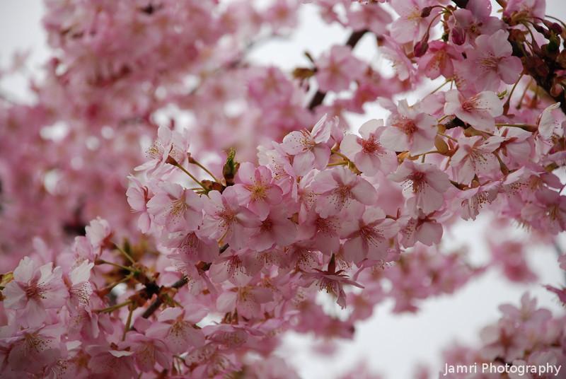 A big cluster.<br /> Of the hybrid darker pink Sakura we saw in Fushimi.
