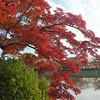 Maple by the water.