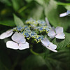 Close Up to Flowering Hydrangea.