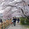 Hanami (Sakura Watching).