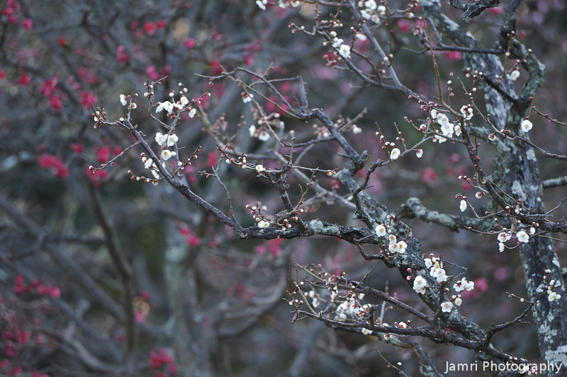 White and Pink Ume (Plum) Flowers.