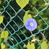 "A morning glory on a wire fence.<br /> A lady stopped to ask me what I was photographing, so I pointed out the flowers, she replied ""Thank you for reminding me of the beauty, sometimes I forget to see it""... hmm..."