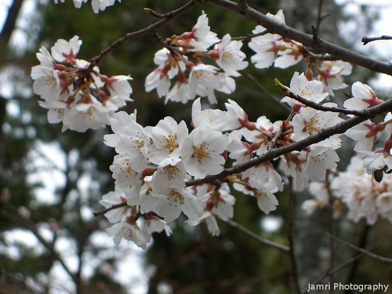 Sakura.<br /> At Koryu-ji (Koryu Temple) in Uzumasa, Kyoto.