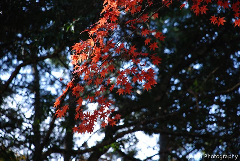 A Sprinkle of Maple Leaves.<br /> At Komyo-ji (a Buddhist Temple) in Nagaokakyo.