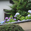 Hydrangeas along a wall.<br /> Shallow DOF by using f/1.8<br /> There was a break in the weather so I took a walk round the neighbourhood.