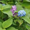 Light Blue Hydrangea.