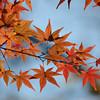 Orange Leaves.