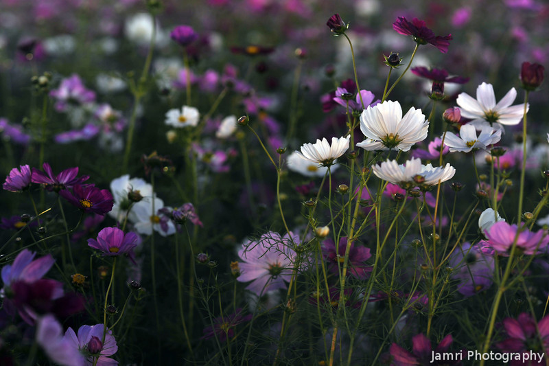 Evening Glow.<br /> A 30sec exposure of Cosmos using a tripod in very still conditions. The light on the flowers is from a very faint evening glow in the sky.
