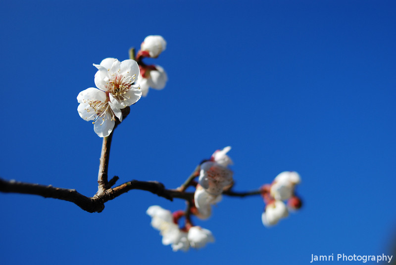 A Closer View of the White Plum Blossoms.