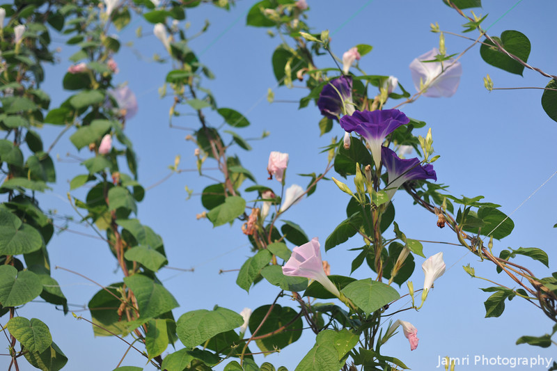 Morning Glory Vine.<br /> Note: Circular Polarising Filter Used.