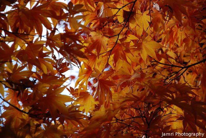 A Different Kind of Maple.<br /> At Komyo-ji (a Buddhist Temple) in Nagaokakyo.
