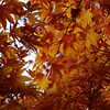 A Different Kind of Maple.<br /> At Komyo-ji (a Buddhist Temple) in Nagaokakyo.