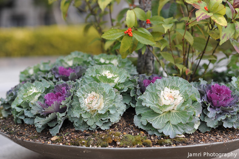 Ornamental Cabbages Outside the Kyoto City Hall.