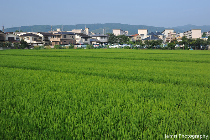 A Large Rice Field in Suburbia.<br /> This one is near the Izumiya Shopping Centre.<br /> Note: Circular Polarising Filter Used.