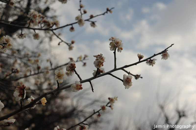 A Flew Blooms.<br /> Of Ume (Plum) Flowers.