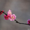 Pink Plum.<br /> A pink Ume (Plum) Blossom.