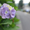 Hydrangea and the Old West Highway.