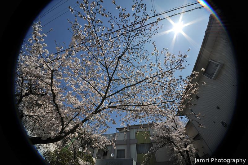 Sakuras and the Bright Sun.