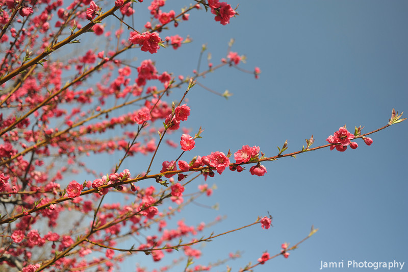 Pink Blooms Against a Blue Sky.