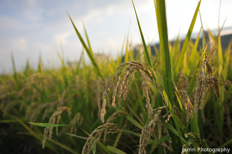 Close up to the heads of rice.