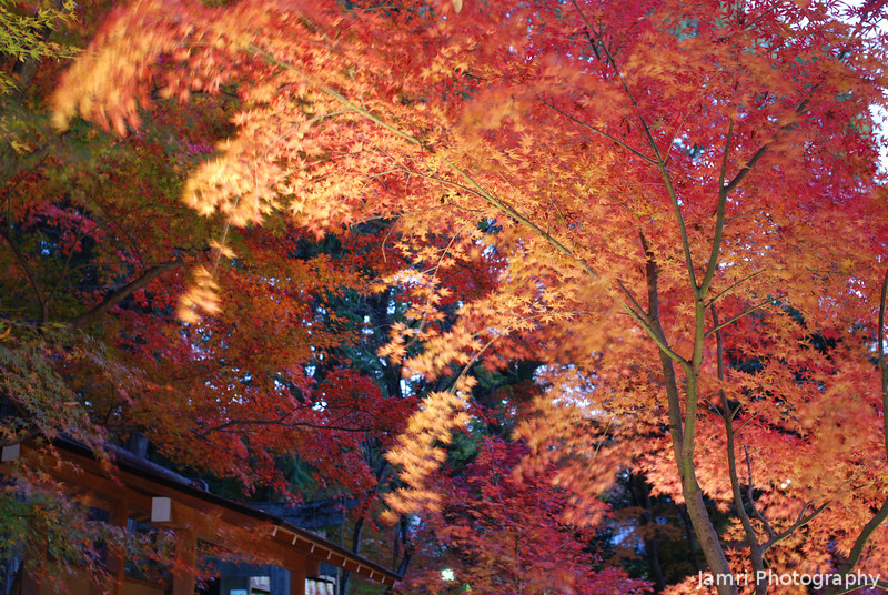 Maples Lit Up.<br /> At Nagaoka Tenmangu Shrine, in Nagaokakyo.